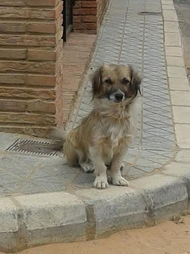 PERRITO DE TAMAÑO PEQUEÑO 15 KILOS APROX MACHO 2 AÑOS APROX  Está en un barrio de Sevilla, los vecinos le dan de comer y agua, le han puesto un collar antipulgas y le han dado la pastilla. Es muy urgente encontrarle hogar a este perrito porque la policía está intentando cogerlo para llevarlo a la perrera pero él no se deja y se pone a correr… Hasta que lo consigan.  Su carácter: Es un perro muy dócil, con mucho miedo cuando se acercan a él. Se lleva bien con todos los perros y gatos del…