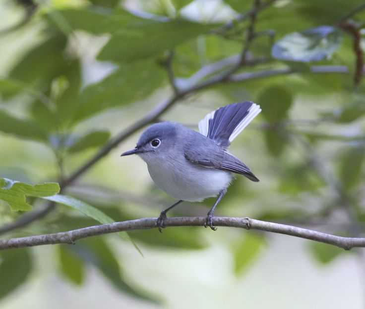 Blue Gnatcatcher, found in southern Ontario, Eastern United States to Mexico