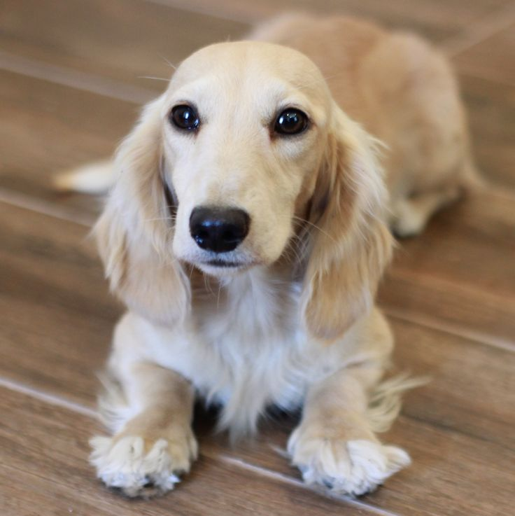 Pale Cream Miniature Dachshund Puppies Dachshund Breed Cream