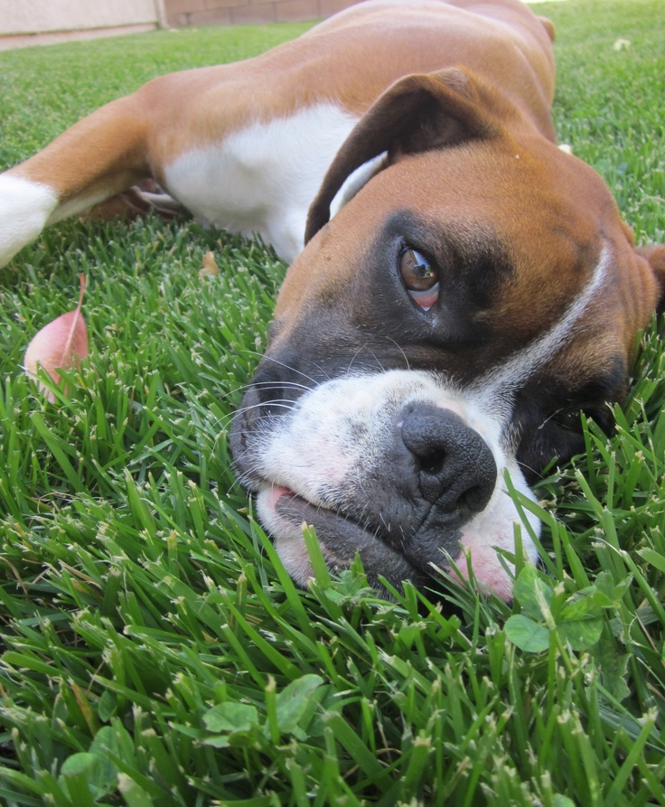 Hot day, cool grass! Boxer dogs, Boxer puppies, Boxer love