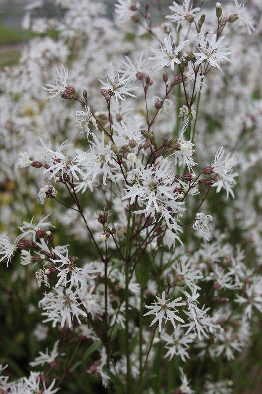 White Robin Lychnis flos-cuculi - 3x 9cm Pots. Planted 29/03/14