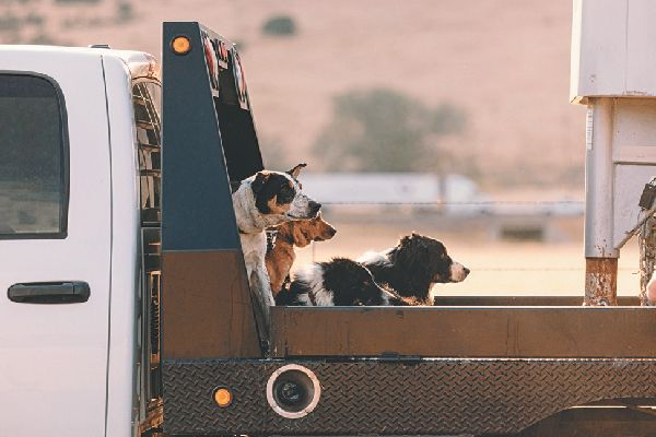 dogs riding in back of truck