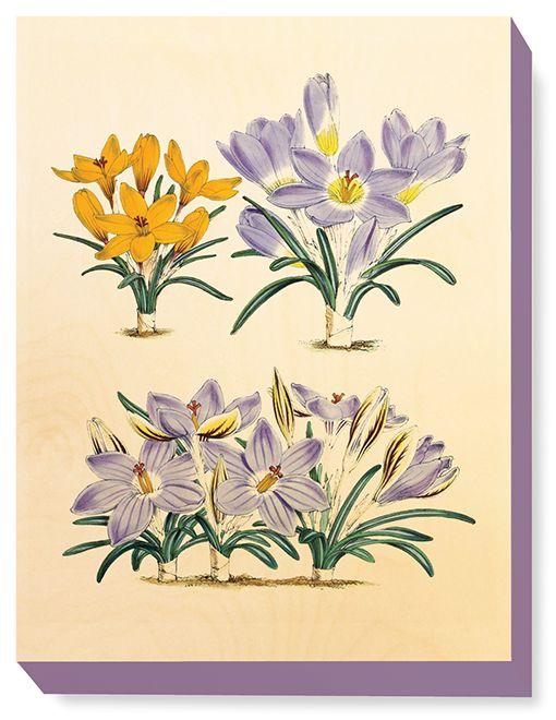 FLW 028 Vintage Flower illustration Winter Crocuses