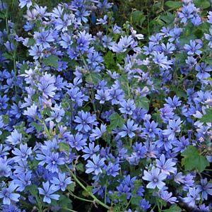 Malva 'Primley Blue', RödmalvaMalva 'Primley Blue', Växer upprätt och buskigt. Lång blomningstid. Trivs bäst på lätt och näringsrik jord, som inte är kalkrik. Plantan är en kortlivad perenn eller bienn (tvåårig), men kommer oftast tillbaka genom självsådda plantor.  Används i rabatter, i krukor och till förvildning. Lockar fjärilar. Förslag på fina grannar: Höstflox, prydnadsmalört, prydnadsgräs, rosor.  Kan odlas i stora delar av landet på skyddat och väldränerat läge.