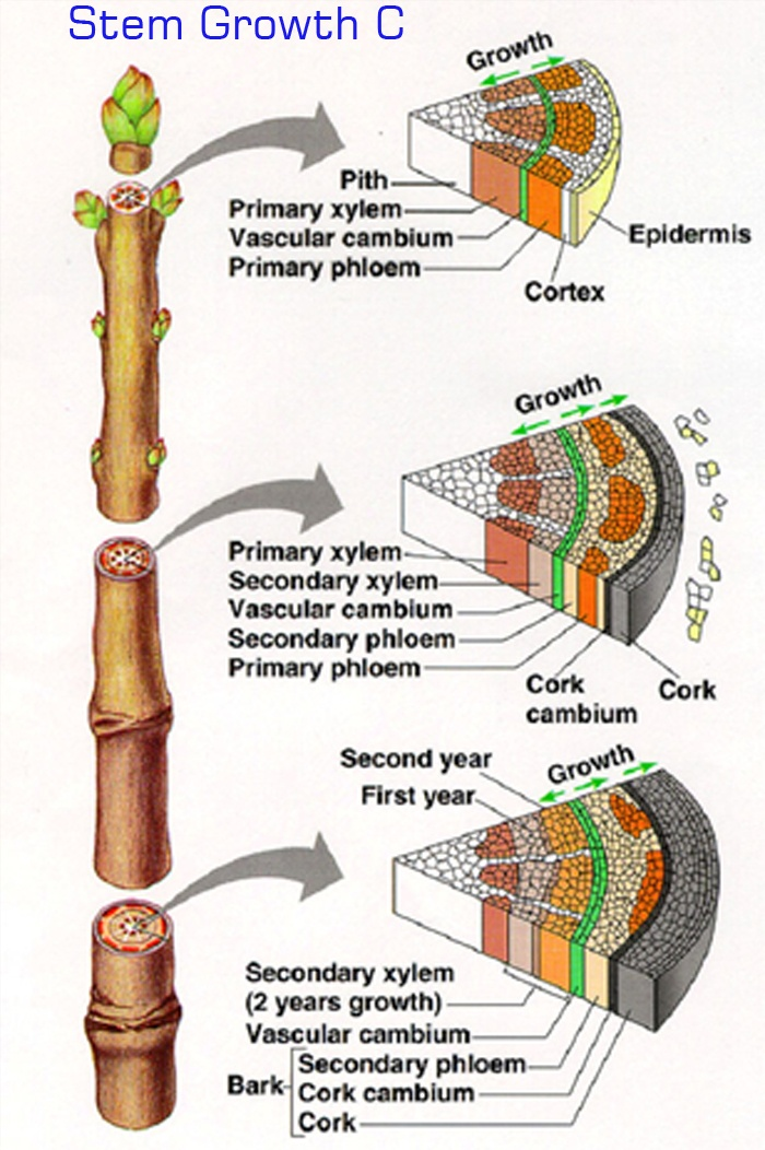 92 best Botany images on Pinterest | Cross section, Botany and Anatomy
