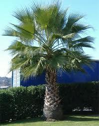 palmera Washingtonia filifera