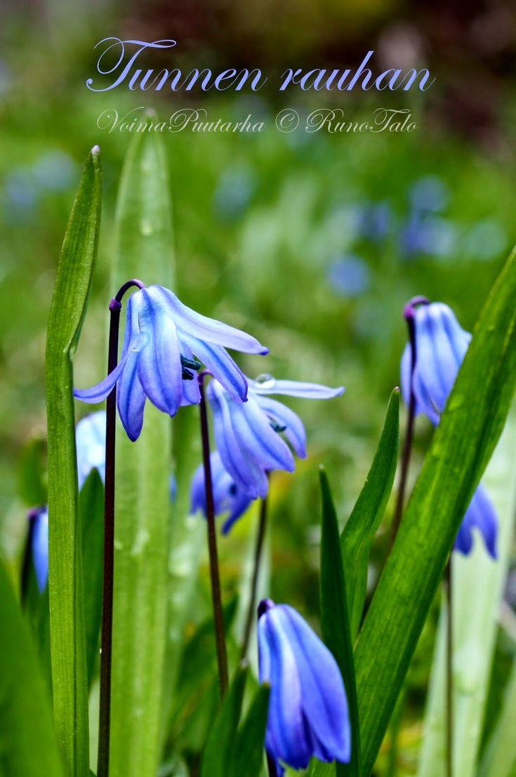Sininen helmi   minussa asuu jossain sisimmässäni   etsin tuota helmeä   sen sinisyyttä   sen rauhaa   joka päivä.            ...
