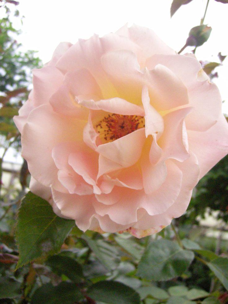 Rokoko www.rozenrijk.nl