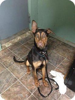 Bronx, NY - Doberman Pinscher Mix. Meet Bo a Puppy for Adoption.