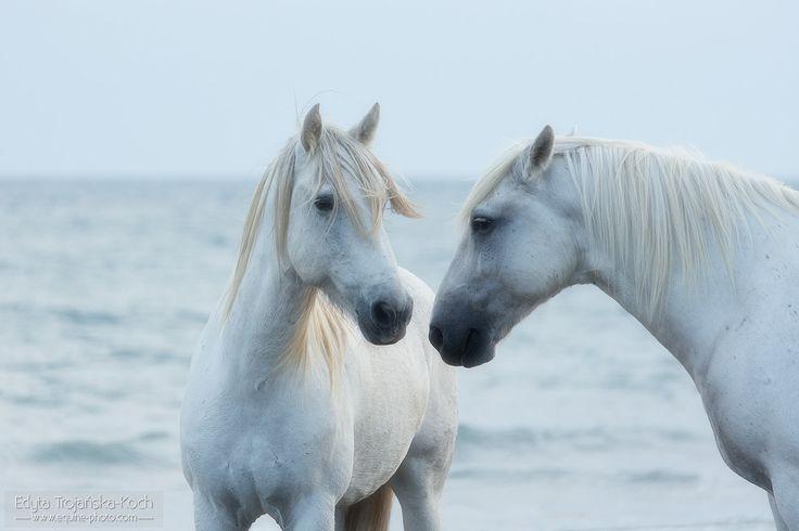 Camargue horses' portrait - Portrait of two Camargue horses