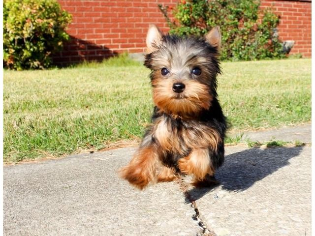 Very Tiny Teacup Yorkie Puppies For Sale Animals El Paso Texas Announcement 99919 Yorkie Puppy For Sale Teacup Yorkie Puppy Yorkie Puppy