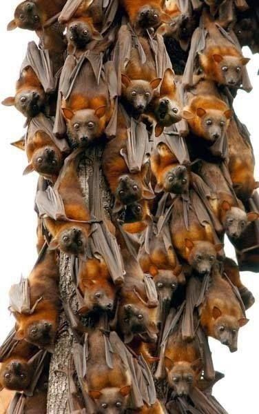 Meeting of flying foxes, the biggest bats that inhabit the planet. Click for bigger pic.