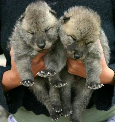 Wolf pups with tiny little claws, that will hopefully grow to maturity