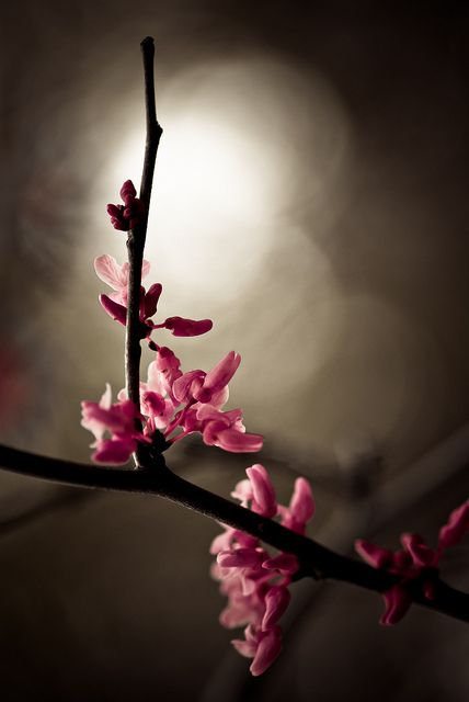 Cherry Blossoms | Flickr - Photo Sharing❤️