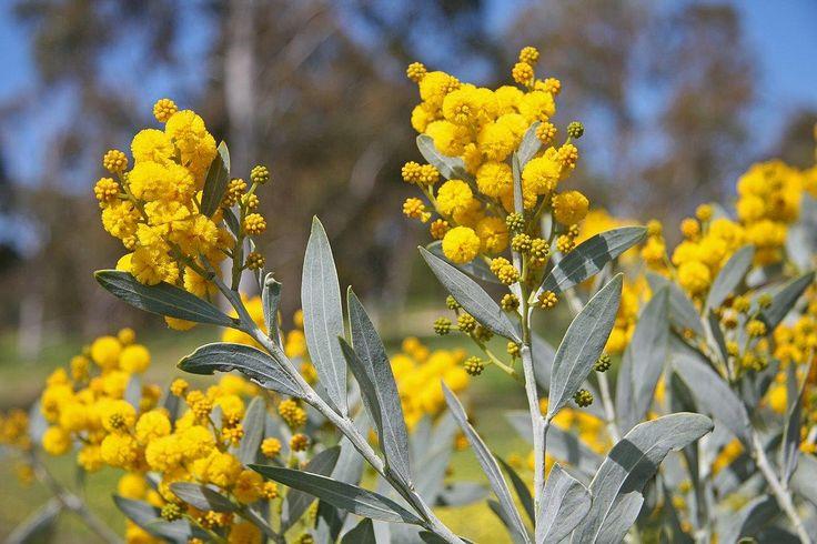 Acacia cretacea | by Westflora