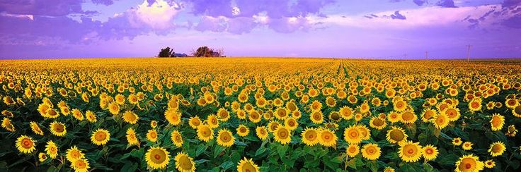 Sunflowers, Ken Duncan. The broad spectrum of this photo exaggerates how far the field of flowers stretch.