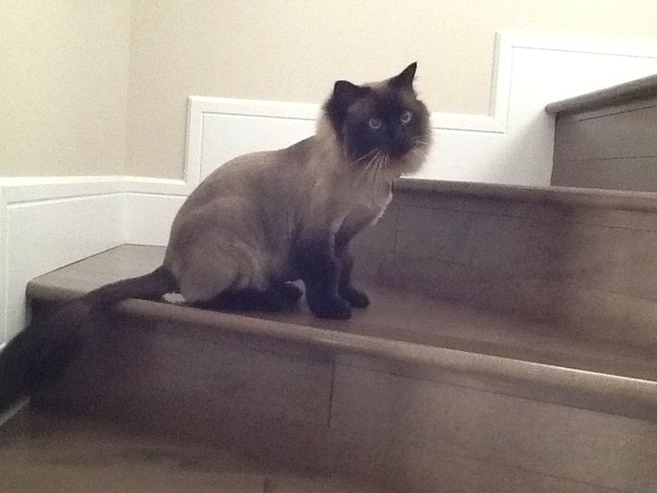 Rocky got a shave like a lion!!!:)SO CUTE.  Leave a comment if you think he was cuter this way or cuter fluffy!