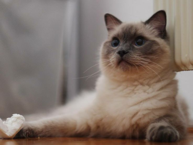 photo by Chlebeque Ragdoll cat