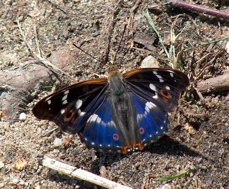 Apatura ilia -- Apatura is a genus of butterflies commonly known as the Emperors.