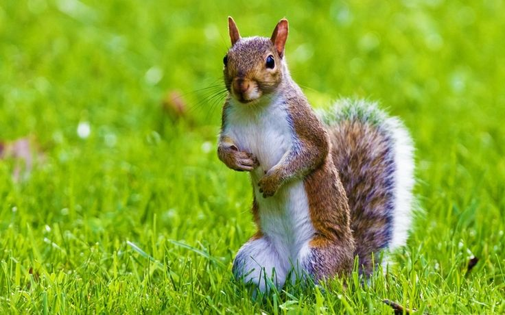 Wallpaper nature animals hd funny pinterest animals - Funny squirrel backgrounds ...
