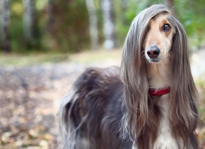 I M At The Point In My Life Where I Consider Wearing My Hair Down As Making An Effort Long Haired Dog Breeds Long Haired Dogs Long Hair Styles