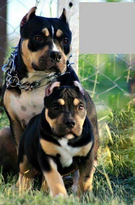 Near Puppies Pit Sale Me Bull