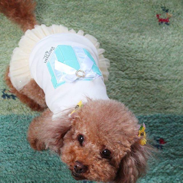 きのう。 ちょきちょきしてきたお。  #トリミング#トリミング後#犬#愛犬#モカ#ミックス犬#ティーカッププードル#ティーカッププードルレッド#トイプードル#トイプー#ヨークシャテリア#ヨーキー#ヨープー#ドッグ服#ドッグウェア