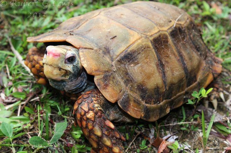 Impressed tortoise (Manouria impressa) Turtle, Tortoises