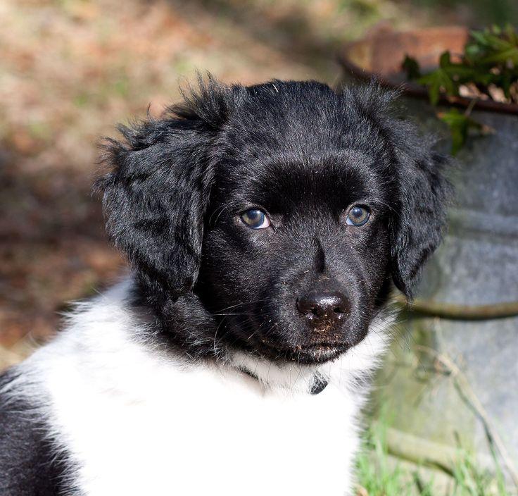 Friesischer Vorstehhund Hunderassen, Vorstehhund, Hunde