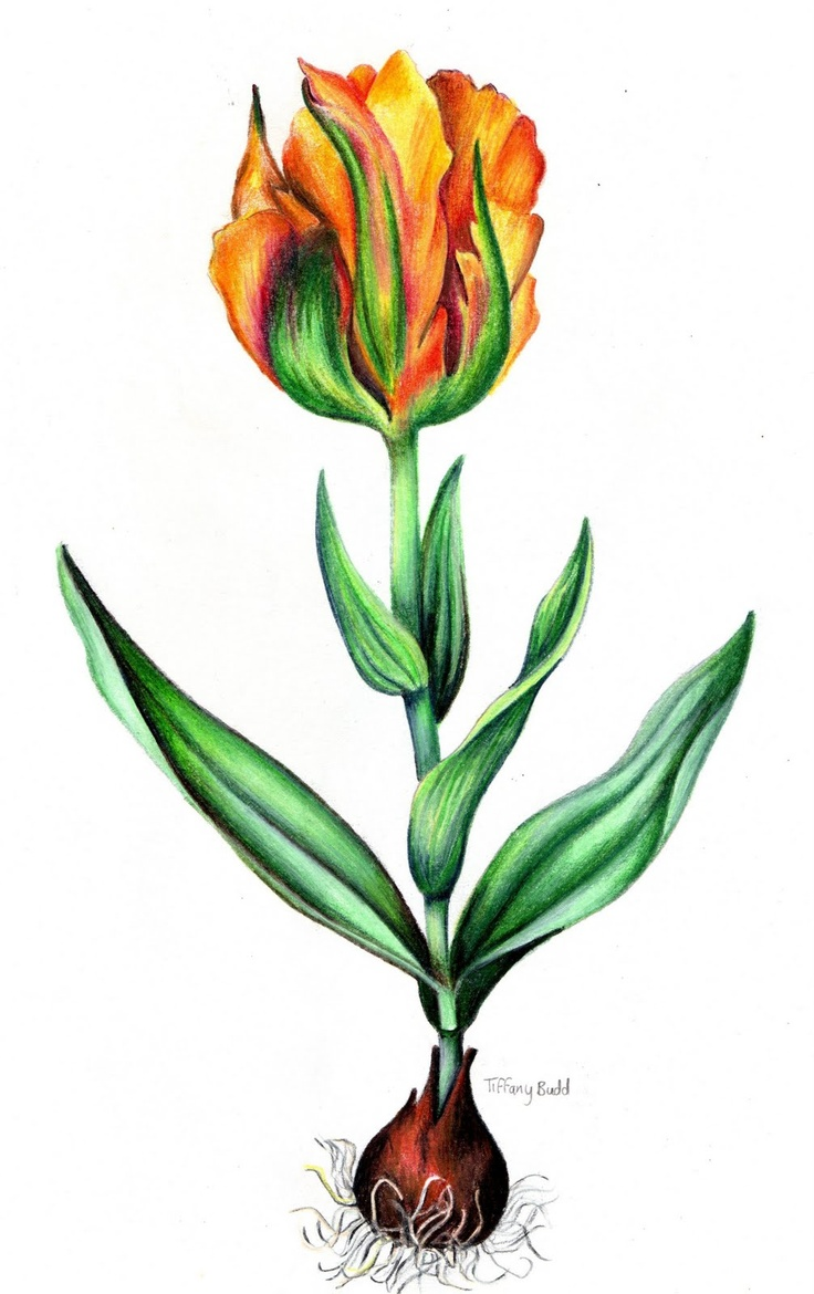 Uncategorized Draw Tulips 63 best tulip drawing images on pinterest flowers artists and botanical of by tiffany budd welcome to my gardening blog http