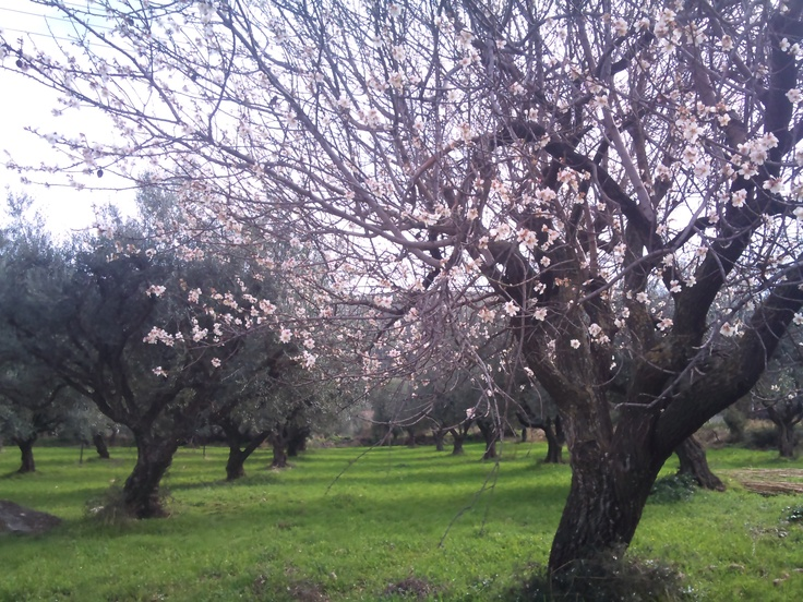 Olive and almond trees. Green fields.