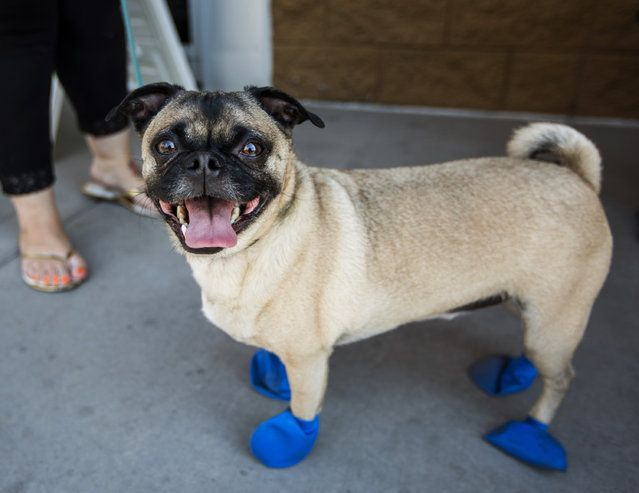 Kara Leavitt, 34, picks up elastic booties for her 4-year-old dog Chase at a PetSmart in Tempe, Ariz. on Tuesday, June 20, 2017. Phoenix radio station KSLX handed out the protective coverings to protect dogs' paws from the hot pavement, as temperatures in Phoenix are forecasted to hit 120 degrees. (Photo by Angie Wang/AP Photo)