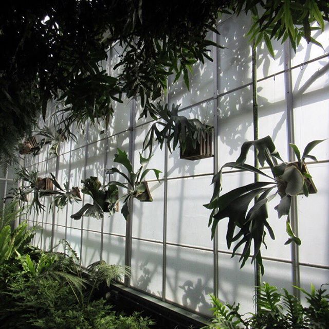 #tbt #longwoodgardens stunning conservatory and these glorious staghorn ferns! 🌿😍 Watered all my plant babies today... fingers crossed my staghorn fern will live a long and happy life! 🤞🏼😁🌱#plantlove #staghornfern