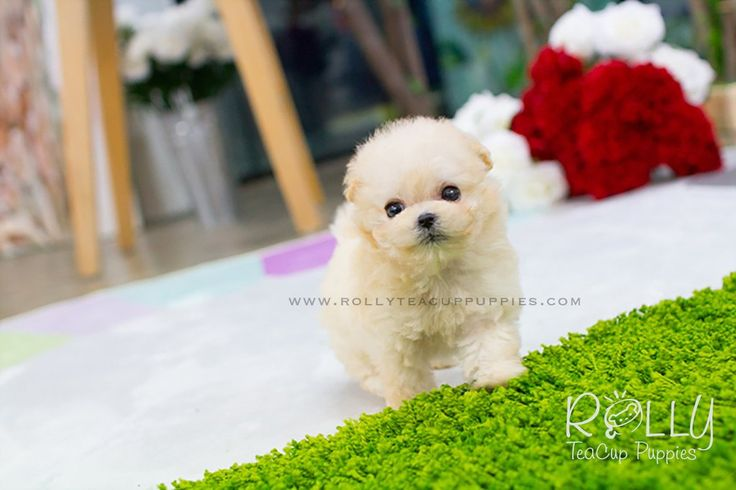 teacup, teacup puppies, teacup puppy, teacuppuppy, teacuppuppies puppy, puppies, price, sale, forsale, for sale, teacupdog, teacupdogs, teacup dogs, teacup dog breeds, teacup dogs for sale, teacup dog for sale, teacup dog price, teacup dogs for sale near me, teacup dog for sale near me, teacup dog for adoption, teacup puppy for adoption, teacup puppies for sale, teacup puppy for sale, teacup puppy for sale near me, teacup puppies for sale near me, teacuppuppyforsale, teacuppuppiesforsale…