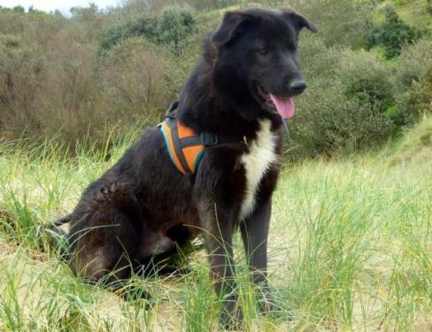 Mia (4 mois), Chien croisé beagle à adopter