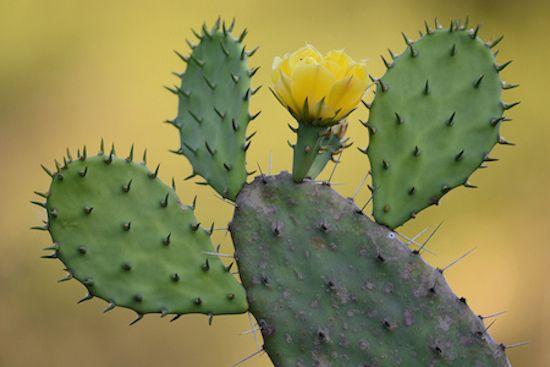 Variedades de cactus para cultivar en zonas de clima fr�o