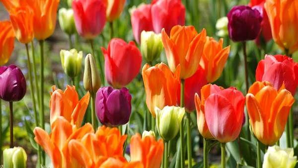 Keukenhof gardens open 24 March #iamsterdam
