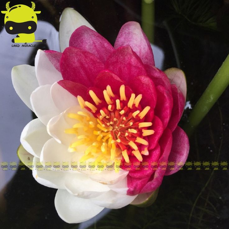 Rare Red with White Hybrid Variety Lotus Flower Seeds, 1 SEED/PACK, Aquatic Plants Mini Water lily