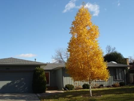 birch tree single asian girls Simple identification key to common willows, cottonwoods  infrequently as a small tree to 18 feet or  • multiple stems instead of a large single stem.
