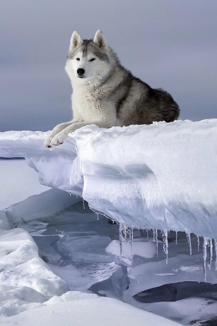 Dignified Husky On Ice Huskies Siberian Husky Husky Husky Dogs
