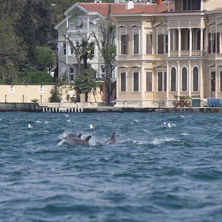 #Dolphins #Istanbul #Bosphorus #Anadoluhisari