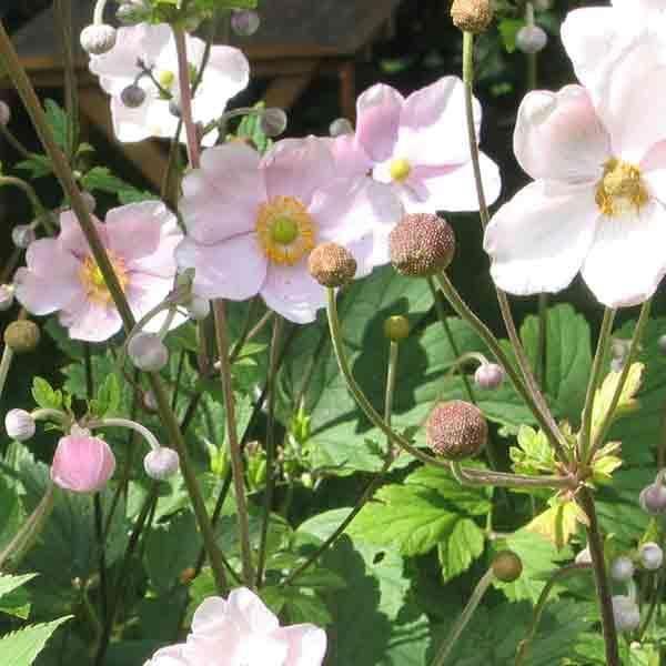 Anemone, Høst-Anemone japonica  +god webside!