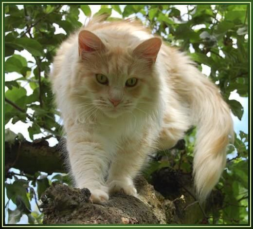 Maine Coon, creme silver blotched (es 22). BurgdorfCats Pearly