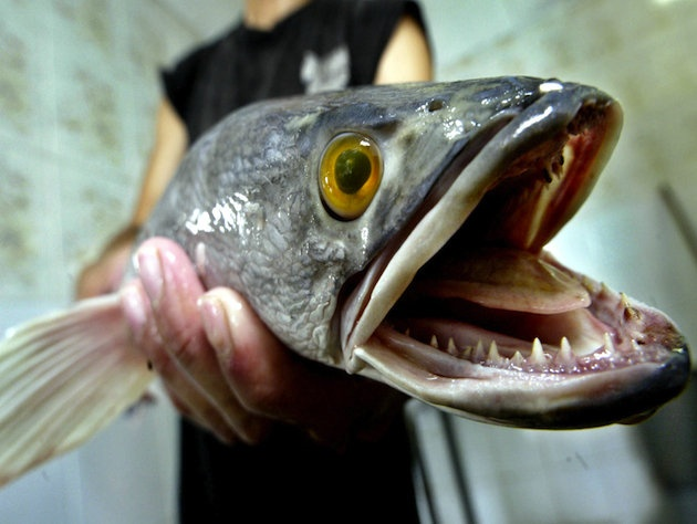 Snakehead fish from Africa invades Maryland.  Can live out of the water for up to 4 days and bite through your boots.