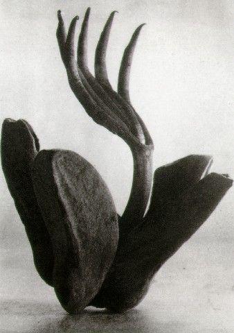 Tina Modotti, Flor de manita