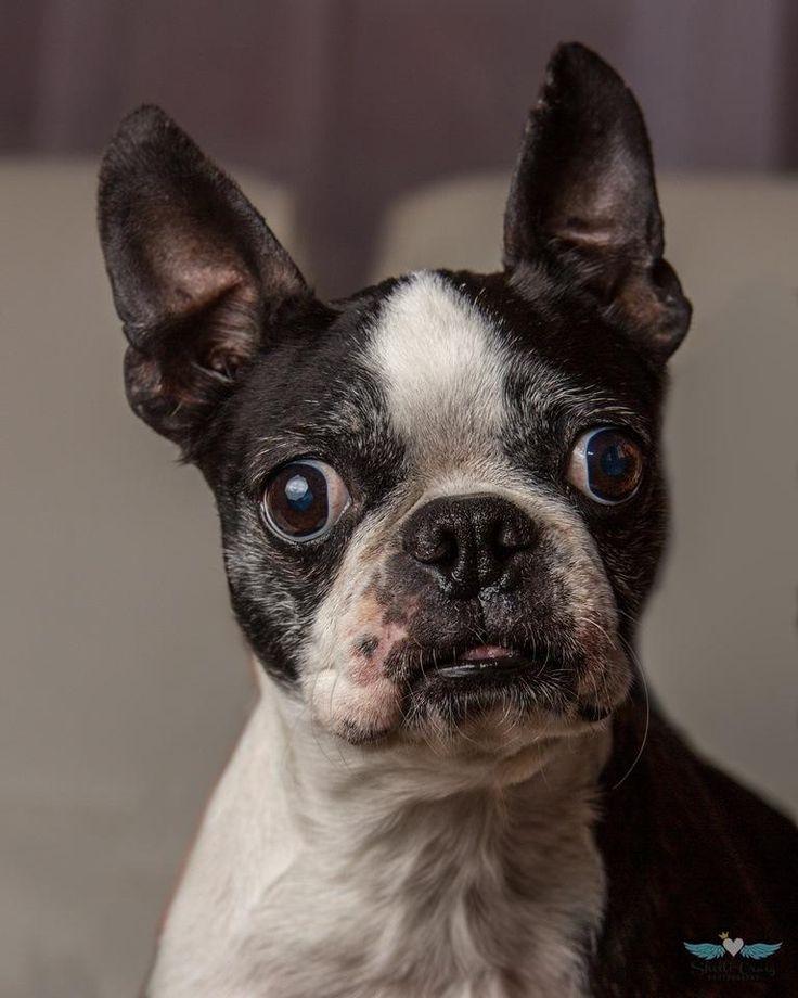 Adopt Tinker ADOPTION PENDING on Boston terrier dog