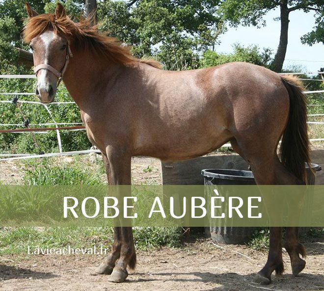 Cheval Robe Aubere Cheval Differentes Robes Equitation