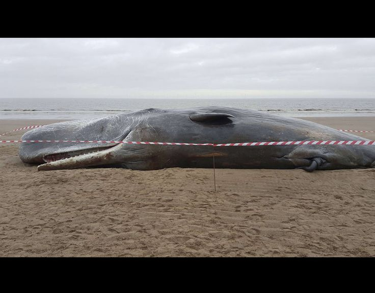 Dead sperm whales are prone to exploding after death. Gasses released inside the animals' bodies during decomposition are known to build up and rip through flesh in a powerful burst of malodorous airborne entrails.