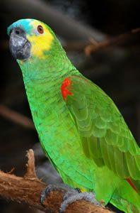 Papagaio de cara roxa:                       Papagaio verdadeiro                      Arara Canindé    Arara vermelha                     ...                                                                                                                                                                                 Mais