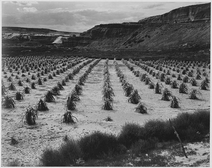 """Corn Field, Indian Farm near Tuba City, Arizona, in Rain, 1941."", Ansel Adams, public domain via Wikimedia Commons."